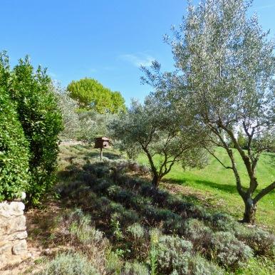 Lavandes et oliviers ©lepetitlugourmand