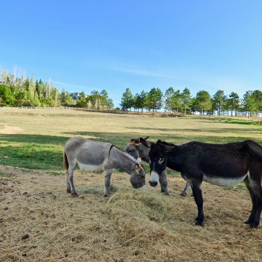 Les ânes de la Bastide ©lepetitlugourmand
